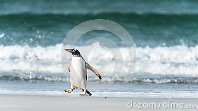 Gentoo penguin in front of the wave.
