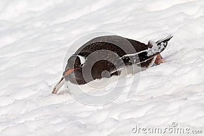 Gentoo penguin gliding down slope, Antarctica