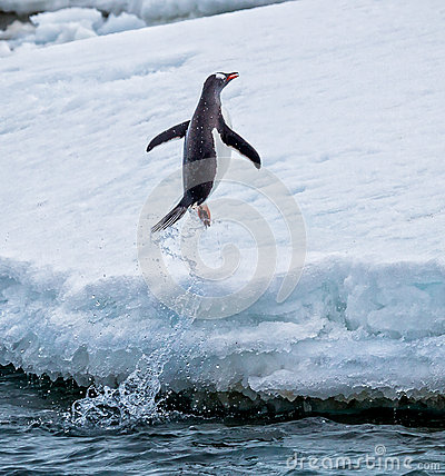 Free Gentoo Penguin Jumps Out Of The Water Onto Land Stock Images - 43566794