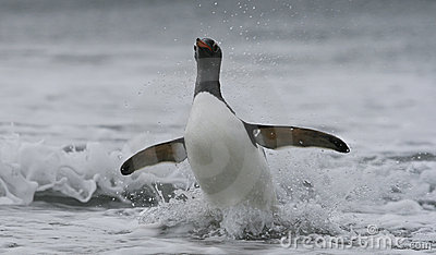 Gentoo penguin in ocean
