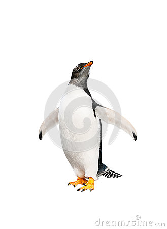 Free Gentoo Penguin Over White Background Stock Photography - 34116212