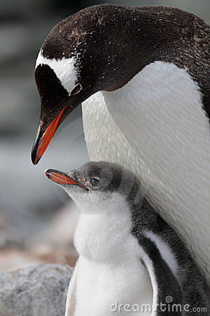Gentoo penguin parent with young, Antarctica