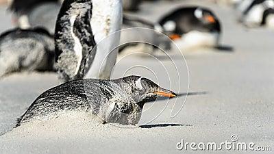 Gentoo penguin poses.