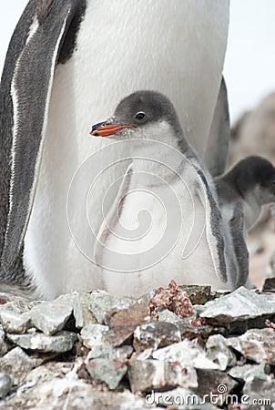 Gentoo penguin (Pygoscelis papua) chick.