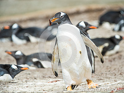 Gentoo penguin runs with something in the mouth.