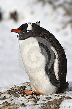 Gentoo penguin sitting in old nest winter