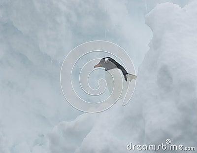 Gentoo penguin in the snow.