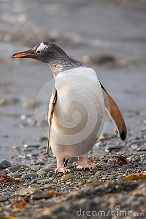 Gentoo penguin, South Georgia, Antarctica