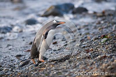Gentoo penguin, South Georgia, Antarctica