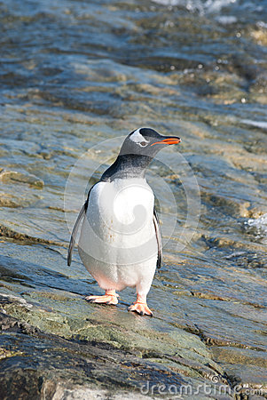 Gentoo penguin standing in the tidal zone.