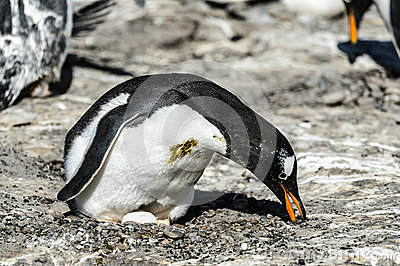Gentoo penguin among the stones.