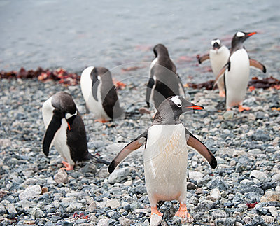 Gentoo penguin after swimming