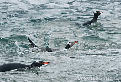 Gentoo penguin swimming in the ocean.