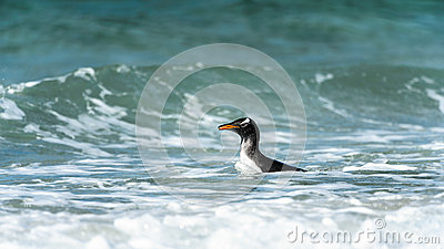 Gentoo penguin swims in the ocean.