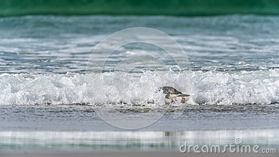 Gentoo penguin swims in the ocean.