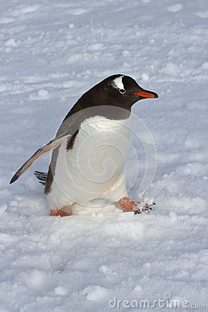Free Gentoo Penguin Walking On Snow Overcast Royalty Free Stock Photography - 43642997