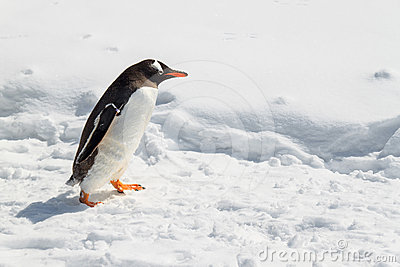 Gentoo Penguin walking on snow