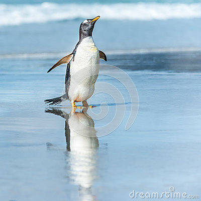 Gentoo penguin in the water.