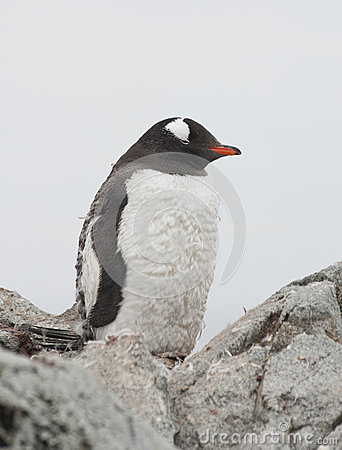 Gentoo penguin who is shedding.
