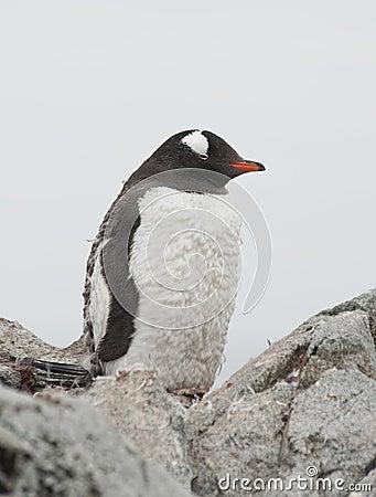 Gentoo penguin who is shedding.