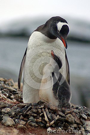 Free Gentoo Penguin With A Chick In Antarctica Royalty Free Stock Image - 104193806