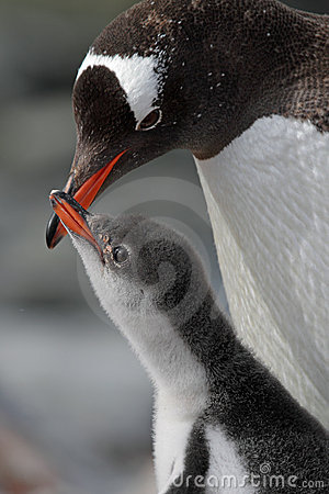 Gentoo penguin young begging for food, Antarctica