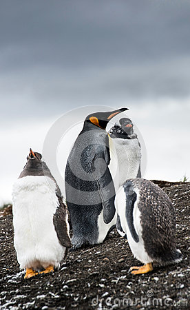 Free Gentoo Penguins And King Penguin Stock Photos - 31253493