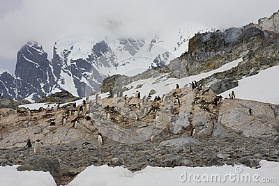 Gentoo penguins on the Antarctic Peninsula.