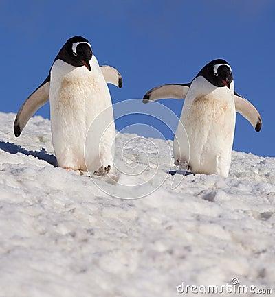 Free Gentoo Penguins - Antarctica Stock Image - 20233141