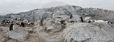 Gentoo penguins, Antarctica.