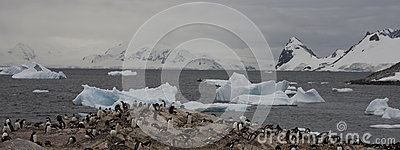 Gentoo penguins on Antarctica.