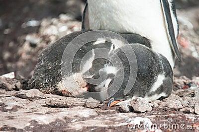 Gentoo penguins baby