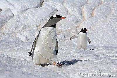 Gentoo Penguins - Danko Island - Antarctica