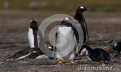 Gentoo Penguins on Guard
