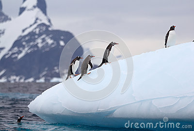 Gentoo Penguins on Iceberg