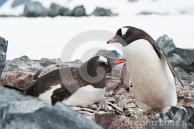 Gentoo penguins on the nest