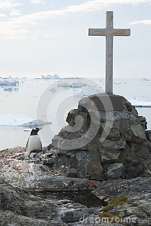 Gentoo penguins nest in a lonely grave.