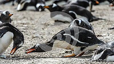 Gentoo penguins seek food