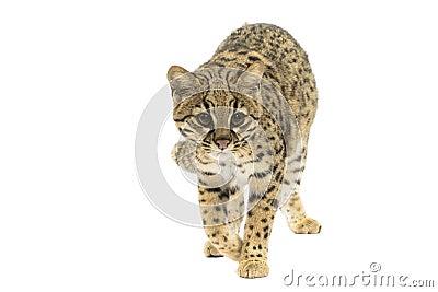 Geoffroy s cat
