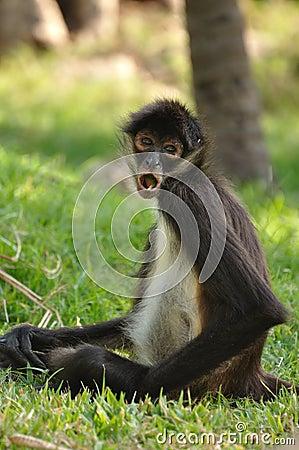 Geoffroy s Spider Monkey (Ateles geoffroyi) Eating