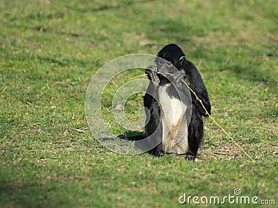 Geoffroy s spider monkey eating