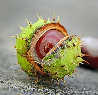 Free Geometric Spiky Conker Seed Pod Royalty Free Stock Image - 117912276