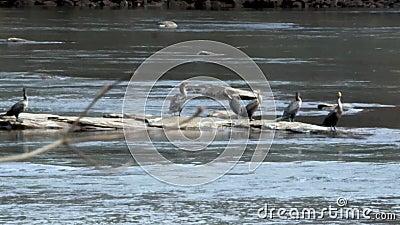 Georgia Island Ford Park 6K Seis aves corvos numa rocha no rio e um ganso canadense vídeos de arquivo
