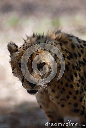Gepard auf dem Prowl