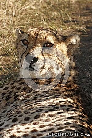 Gepard, der im Schatten liegt