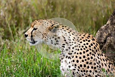 Gepard, der Uhr hält