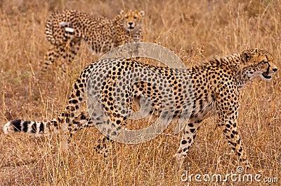 Geparden auf dem Prowl