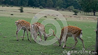 Gepootte herten in de natuur Groen gras van deegwaren stock footage