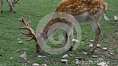 Gepootte herten in de natuur Groen gras van deegwaren stock videobeelden