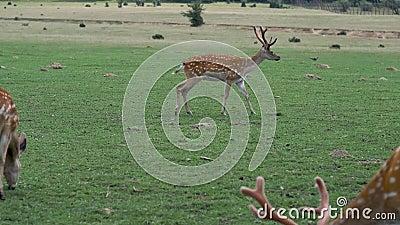 Gepootte herten in de natuur Groen gras van deegwaren stock video